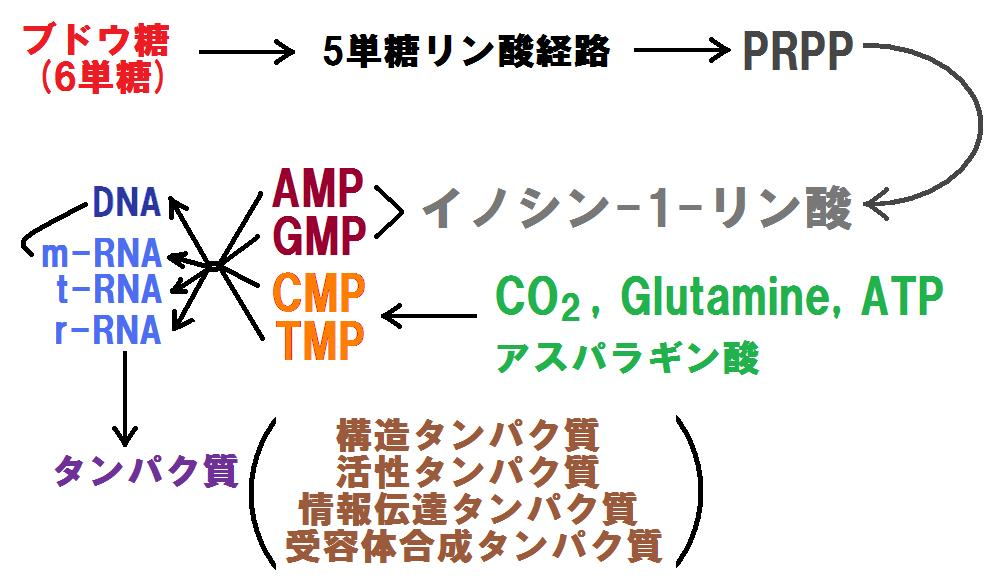 PPP&蛋白合成